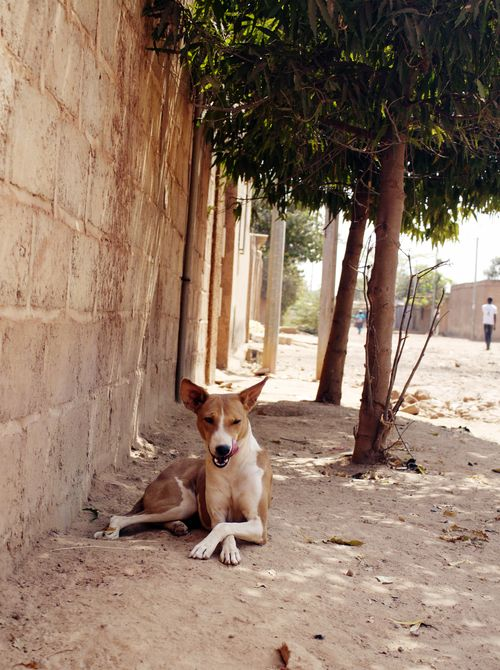 burkina faso guard dog